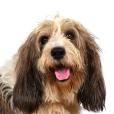 Race chien Petit basset griffon vendéen