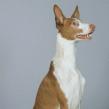 Race chien Podenco d'ibiza poil lisse