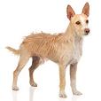 Race chien Chien de garenne portugais (moyen) poil long et du