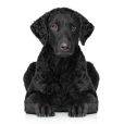 Trouver un éleveur de Curly Coated Retriever