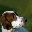 Afficher le standard de race Irish Red And White Setter