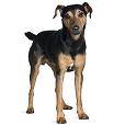 Race chien Manchester terrier