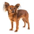 Race chien Petit chien russe
