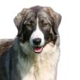 Race chien Ciobanesc romanesc carpatin
