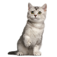 Afficher le standard de race British Shorthair