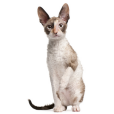 Race chat Cornish rex