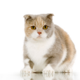 Afficher le standard de race Scottish Fold
