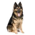 Race chien Berger allemand à poil long