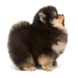 Race chien Spitz nain