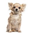 Afficher le standard de race Chihuahua à Poil Long