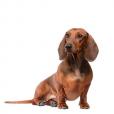 Race chien Teckel de chasse au lapin poil ras