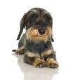 Race chien Teckel de chasse au lapin poil dur