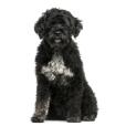 Race chien Chien d'eau portugais poil long et ondulé