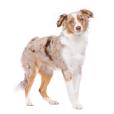 Race chien Berger américain miniature