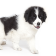 Race chien Berger de bosnie-herzegovine et de croatie