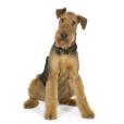Afficher le standard de race Airedale Terrier