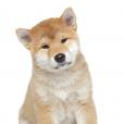 Race chien Akita inu
