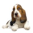 Race chien Basset hound