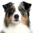 Race chien Australian sheperd