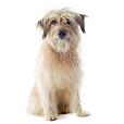 Race chien Chien de berger des pyrenées à poil long