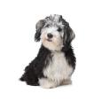 Race chien Bichon havanais