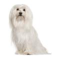 Race chien Bichon maltais