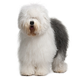 Trouver un éleveur d'Old English Sheepdog