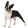 Race chien Boston terrier