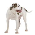 Race chien Bulldog americain