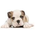 Afficher le standard de race Bulldog
