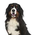 Afficher le standard de race Berner Sennenhund