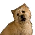 Race chien Cairn terrier