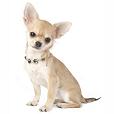 Race chien Chihuahua à poil court