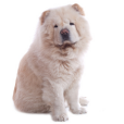 Race chien Chow chow