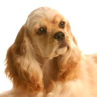 Race chien Cocker américain