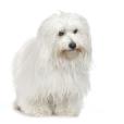 Race chien Coton de tulear