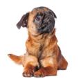 Race chien Griffon belge