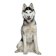 Race chien Husky siberien