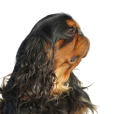 Race chien King charles spaniel