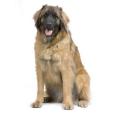 Race chien Leonberg
