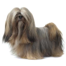 Race chien Lhassa apso