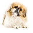 Race chien Pékinois