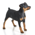 Race chien Pinscher nain