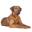 Race chien Rhodesian ridgeback