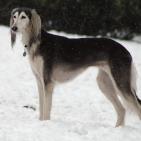 Race chien Saluki à poil frangé