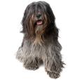 Race chien Schapendoes néérlandais