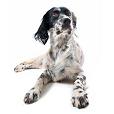 Race chien Setter anglais