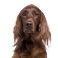 Race chien Setter irlandais rouge