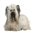 Race chien Skye terrier