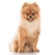 Race chien Spitz moyen